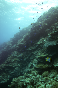 A coral reef in Palau with fish