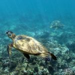The benthic team is visited by resident turtles on Maui