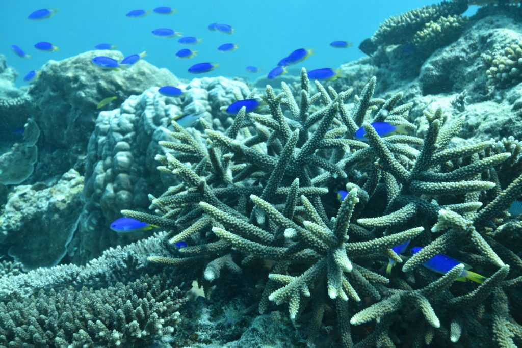 Coral and fish at Heron Island Reef. Credit: Stacy Peltier