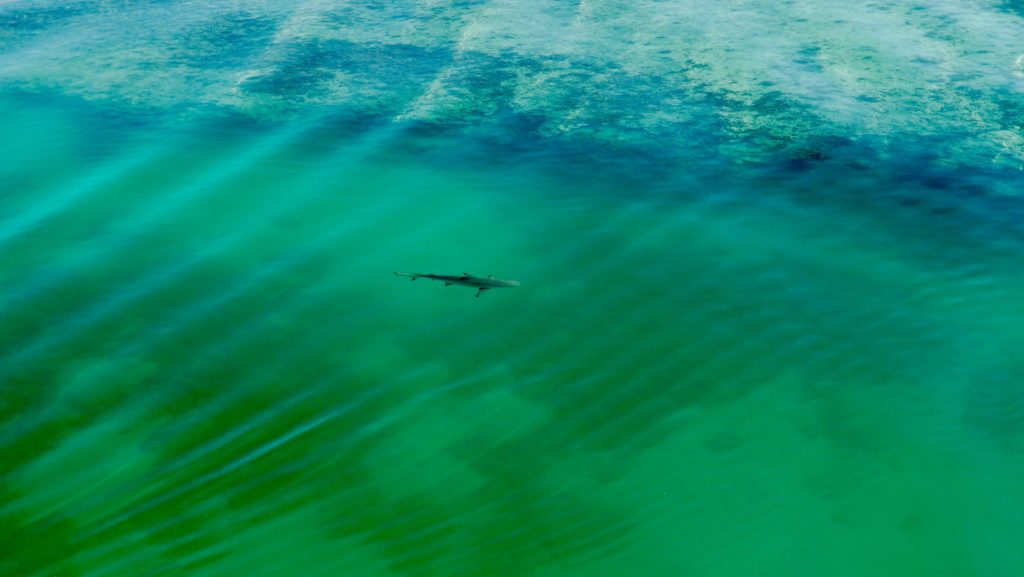 A shark swims in Heron Island Harbor. Credit: Jim Round/NASA JPL